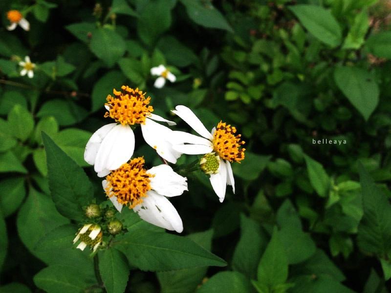 大花咸豐草