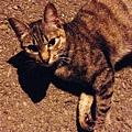 [貓] 棕虎斑妹妹
