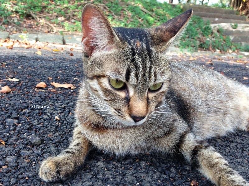 [貓] 虎斑