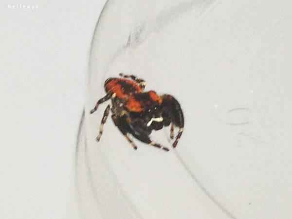 [蜘蛛] 暗寬胸蠅虎