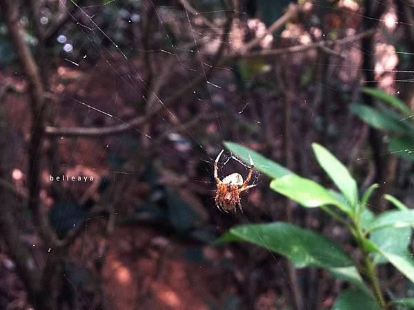[蜘蛛] 姬鬼蜘蛛