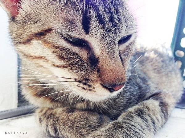 小虎斑貓媽