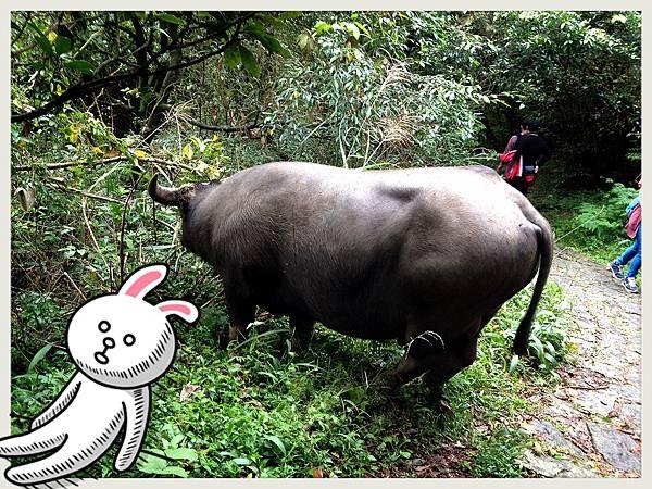 大水牛...