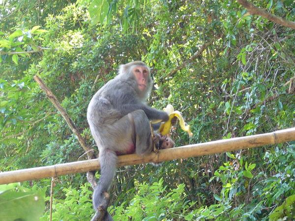 肆無忌憚吃香蕉的猴子
