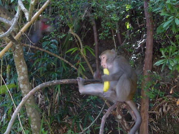 囂張猴吃香蕉