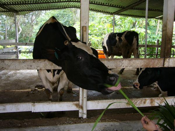 好可愛的牛