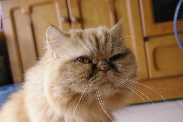 試拍-全球最可愛之扁臉貓