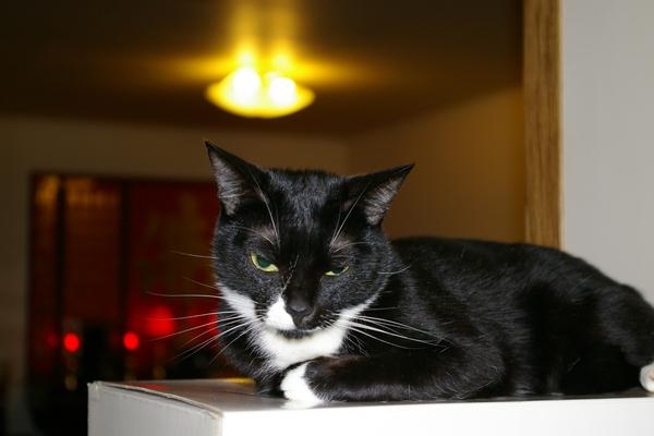 Toni的愛貓-小泡芙