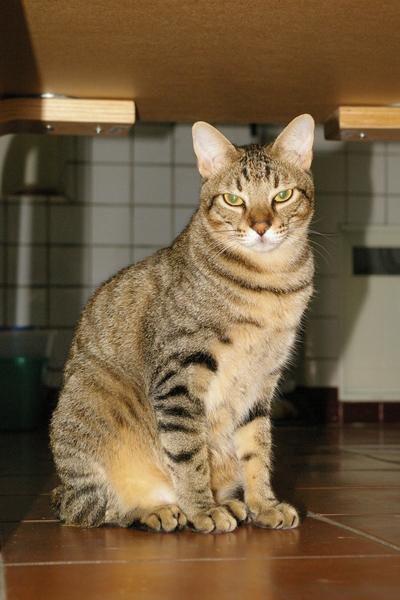 工作室公貓-托比