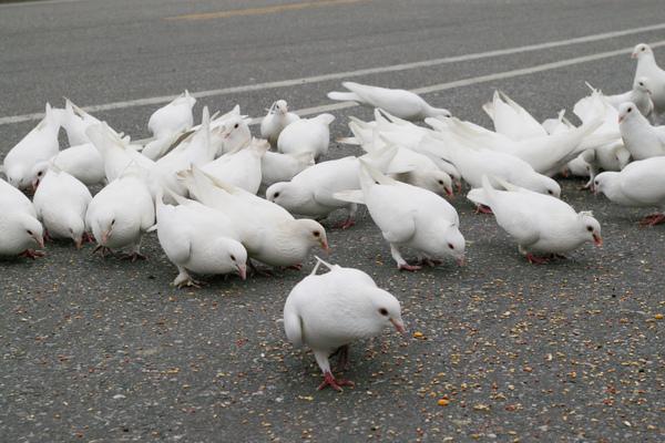 中餐廳外廣場的白鴿群