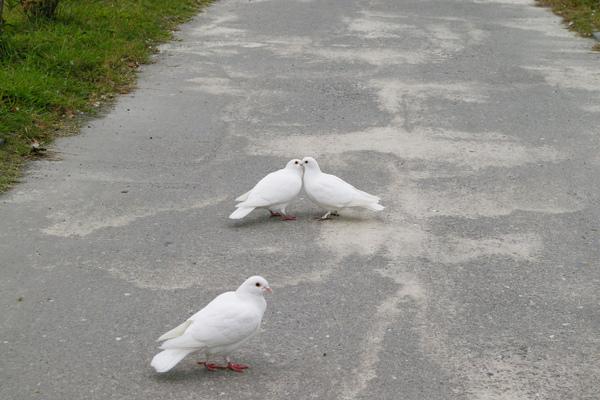 放閃光的情侶鴿