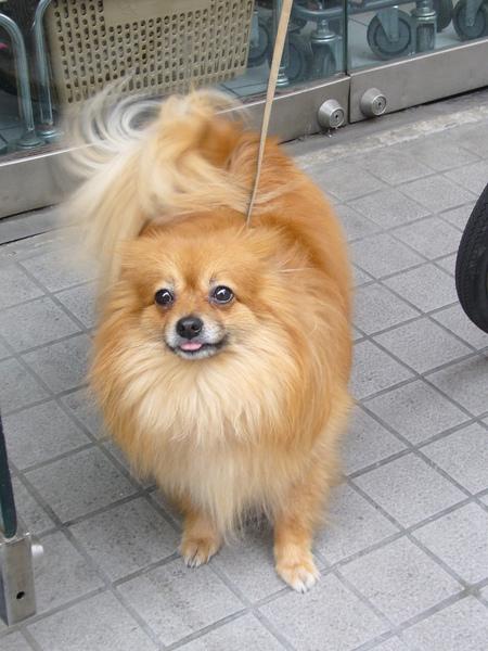 遇見可愛的日本博美狗
