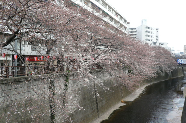 這條河旁有滿滿的櫻花