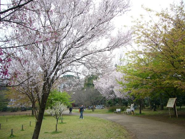 櫻花樹很多的大公園
