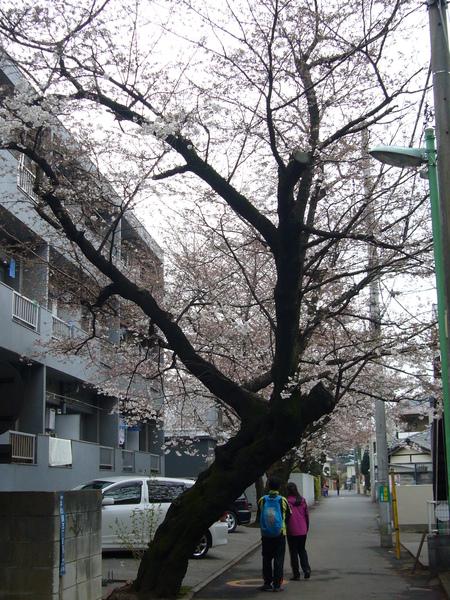 門口就是櫻花樹的公寓