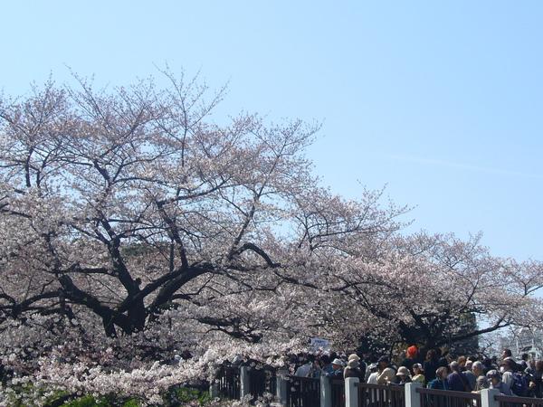 滿滿的櫻花+滿滿的人潮