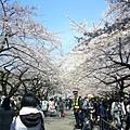 這就是第五天的櫻花巡禮