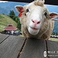 超可愛的羊咩咩