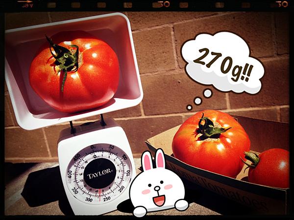 破紀錄大蕃茄