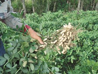 有機花生田裡成熟的落花生。 圖/朱慧芳.jpg