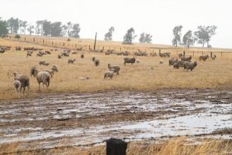 澳洲出現十年大旱,許多農場一片旱象,最近雖然下了雨,也只是杯水車薪。歐新社.bmp
