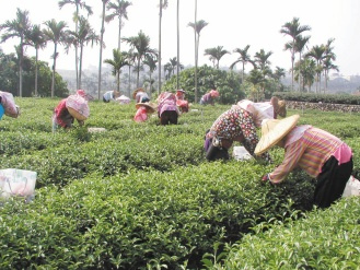 台東縣鹿野鄉冬片茶評比,爆發未參賽竟然獲得頭獎的事,引發參賽茶農不滿。圖為茶農採茶情形。張家樂攝影.bmp