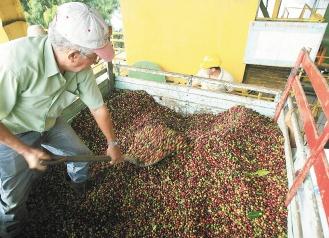 圖為哥斯大黎加咖啡業者把生豆過磅。.bmp