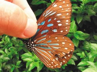 苗栗縣首次記錄來自台東的小紋青斑蝶。圖/徐志豪提供.jpg
