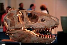 暴龍的頭顱。許多恐龍也許將面臨另一種形式的絕種--有個仍具有爭議性的理論認為,約有三分之一的恐龍種類,其實是不存在(照片/美國國家地理會社提供).jpg