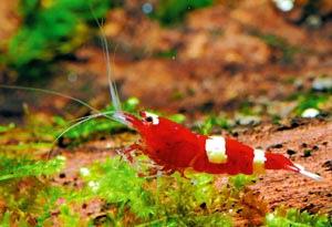 紅白水晶蝦 (漁業署提供).jpg