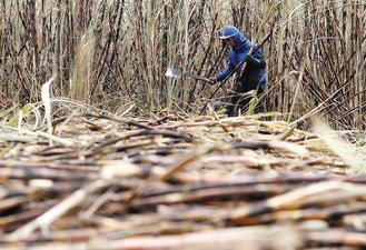 全球最大糖出口國巴西乾旱導致作物欠收、糖價飆漲,但印度的豐收將有助抵銷衝擊,國際糖價11日因此重挫。圖為巴西蔗園收成的情形。路透.jpg