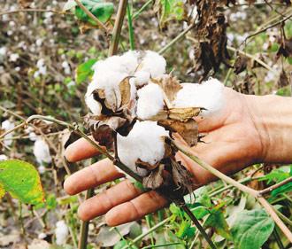 供給吃緊推升棉價頻創新高,服飾製造商和零售商面臨沈重的成本壓力。彭博資訊.jpg