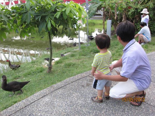 0515爸爸陪我近距離看水鴨