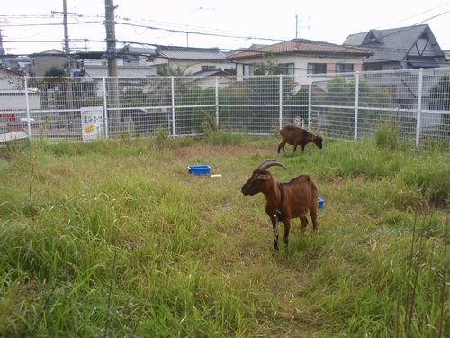 Rent-a-Goat「零碳排放」的除草服務 — 山羊出租中