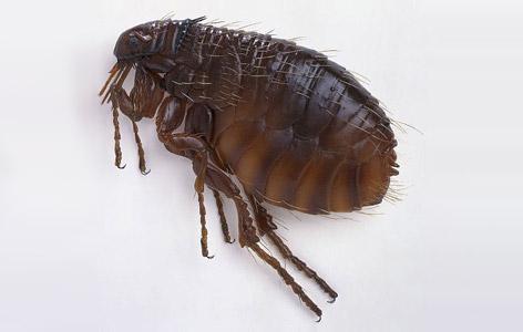 有人曾經做過這樣一個實驗:他往一個玻璃杯裏放進一隻跳蚤,發現跳蚤立即輕易地跳了出來;再重複幾遍,結果還是一樣。 根據測試,跳蚤跳的高度一般可達它身體的400倍左右,所以說跳蚤可以稱得上是動物界的跳高冠軍。