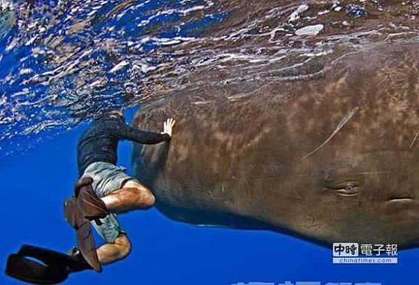 龍涎香是抹香鯨科動物抹香鯨的腸內分泌物的乾燥品.jpg
