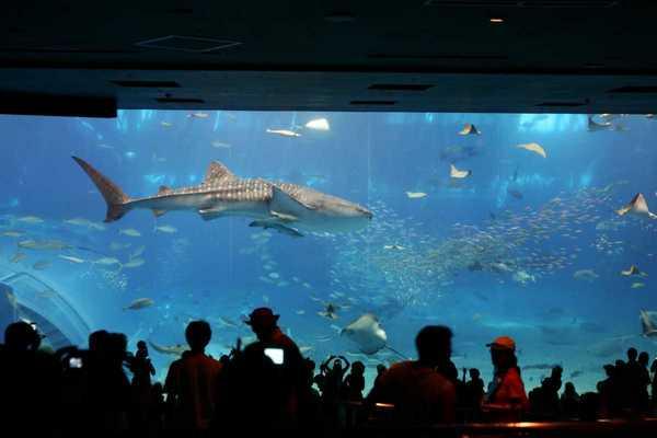 沖繩水族館的老大