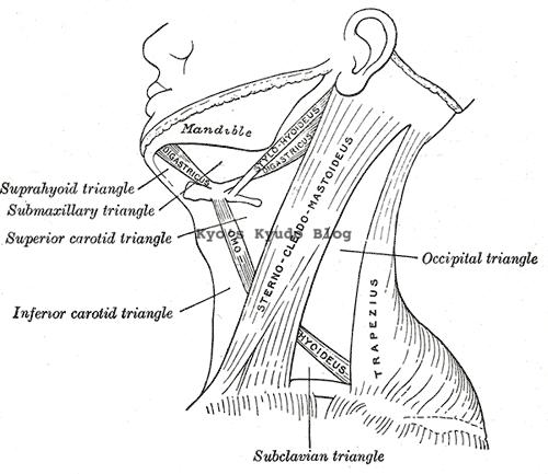 胸鎖乳突肌