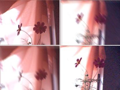 窗口的波斯菊