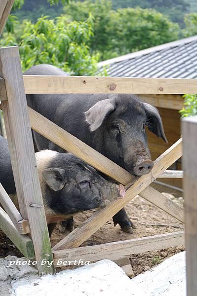 桃樂絲裡的豬隻.jpg