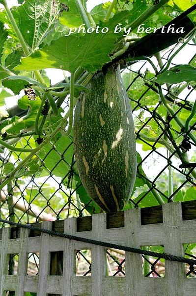 葡萄樹莊園-樹上的南瓜.jpg