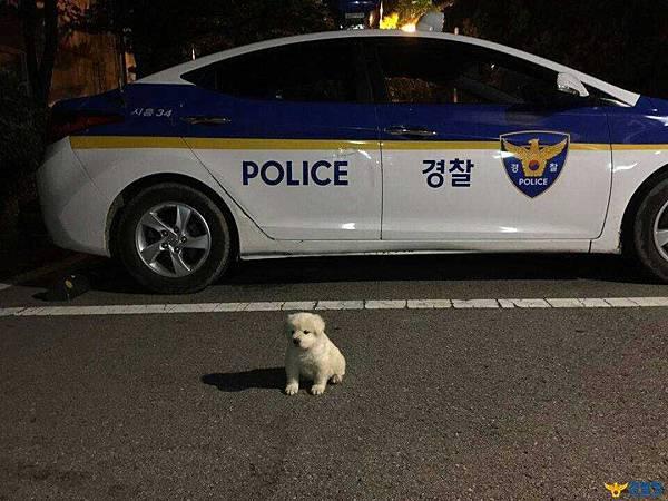 去年10月警察伯伯領養了這隻超呆萌的小白狗1.jpg