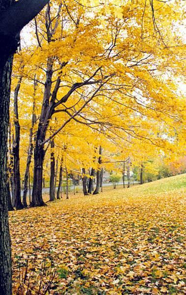 世界美景/黃色的楓葉