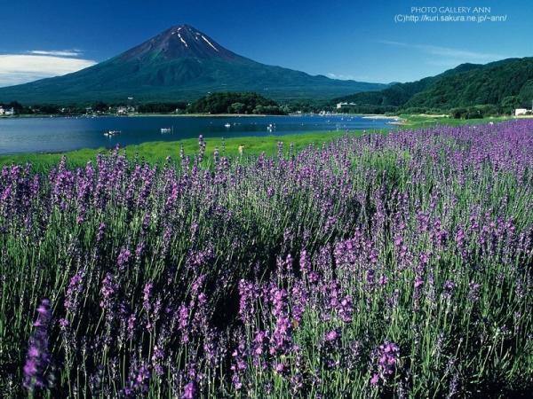 世界美景/山腳下的薰衣草