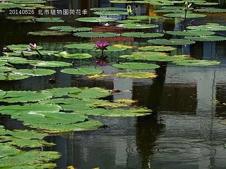 20140526北市植物園荷花季 001_nEO_IMG.jpg