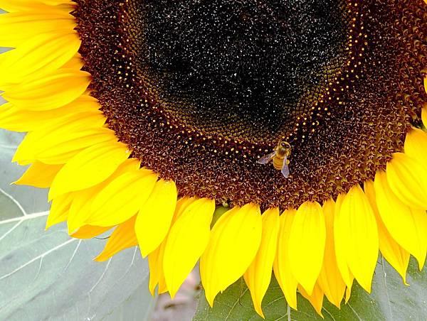 2014.2.23 蜜蜂與花