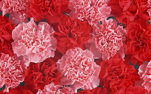 flower_carnation_flowers_mothers_day_14837_10