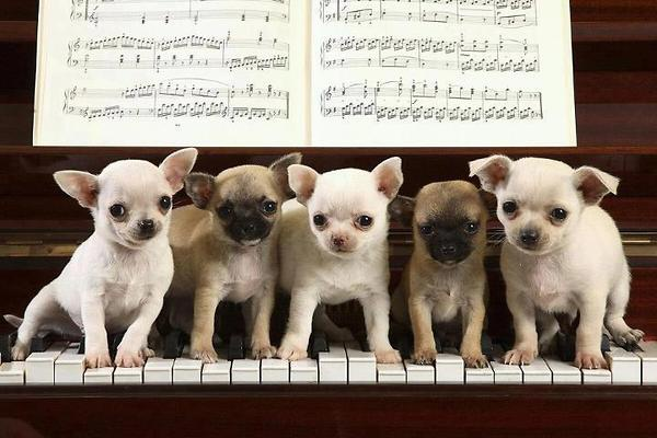 dogs play the piano