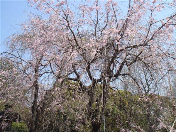 下垂的櫻花