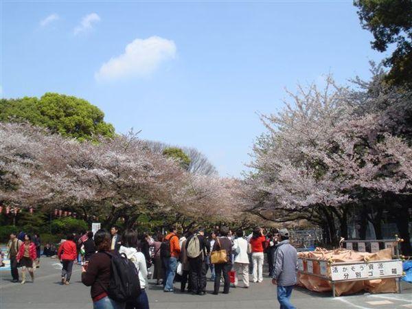 上野公園的櫻花